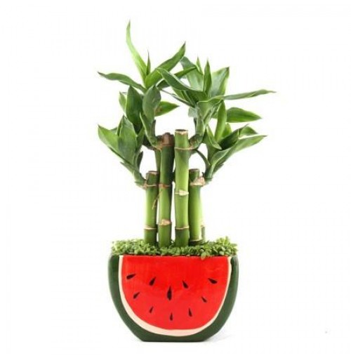 WATERMELON GRASS LUCKY BAMBOO PLANT